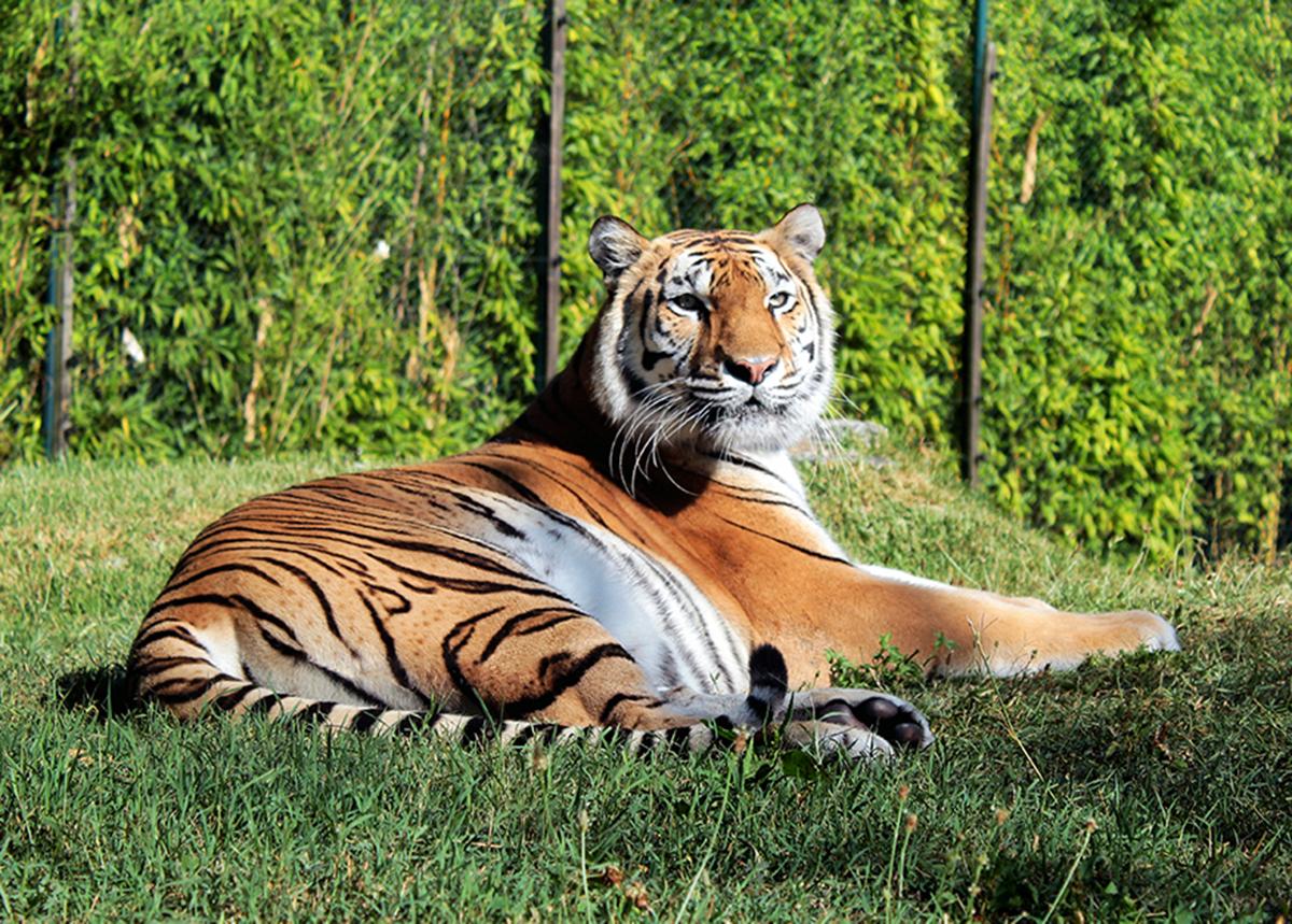 Asha, a tigre nascida no Zoo da Maia, está de parabéns!